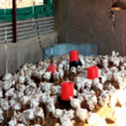 Chicken Farming Project South Africa